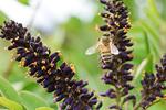 青森県産クロバナエンジュ(イタチハギ)蜂蜜