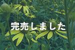 北海道産オオハンゴンソウ蜂蜜