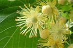 北海道産シナ(ボダイジュ)蜂蜜