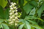 青森県産トチノキ蜂蜜