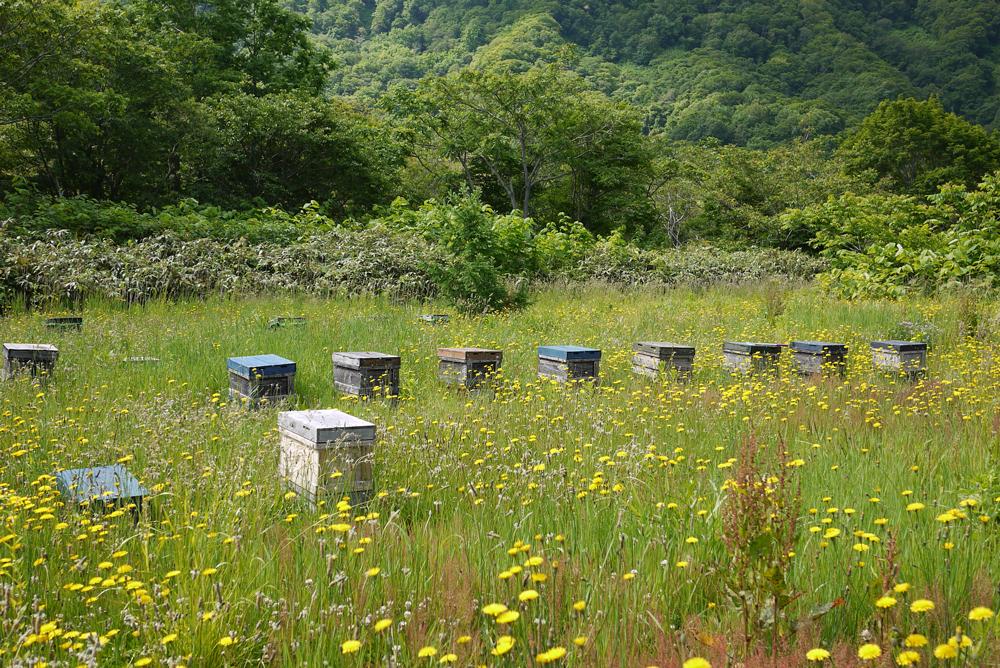 北海道の蜜源 6月(山)