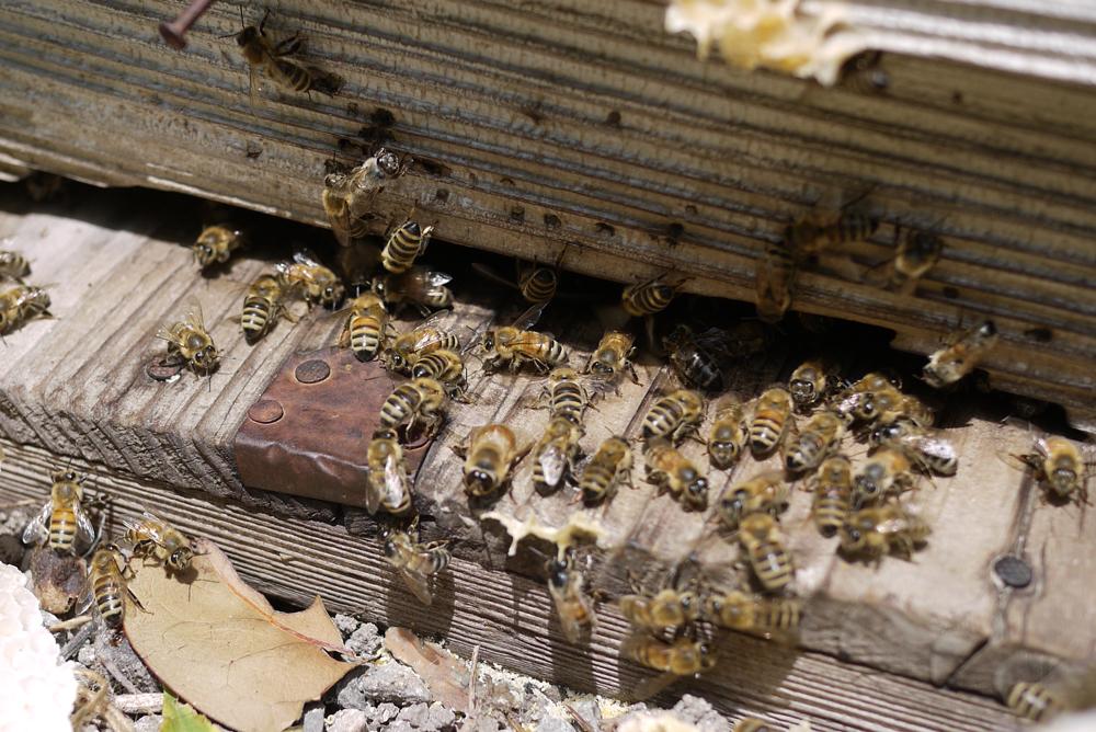 ミツバチの増やし方1 移虫(いちゅう)―女王蜂作り
